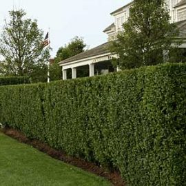 trimmed hedges- landscaping